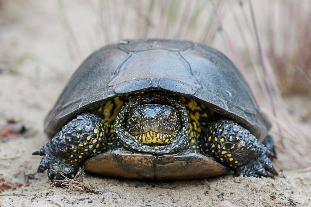 Болотная черепаха: фото, описание, уход в домашних условиях
