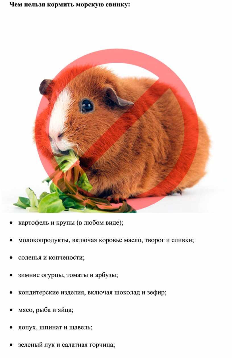 Груша морской свинке: можно или нет