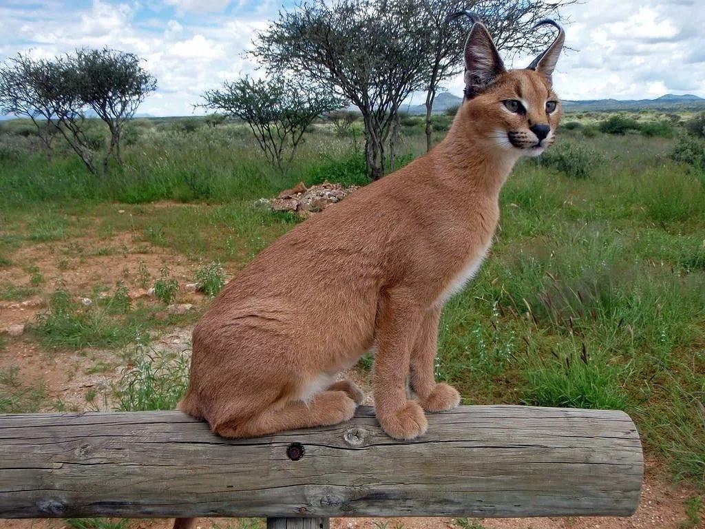 Каракал как домашнее животное, возможно ли приручить дикую кошку?