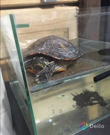 Как перевозить черепаху? простые правила перевозки1 min read. транспортировка черепахи в самолете