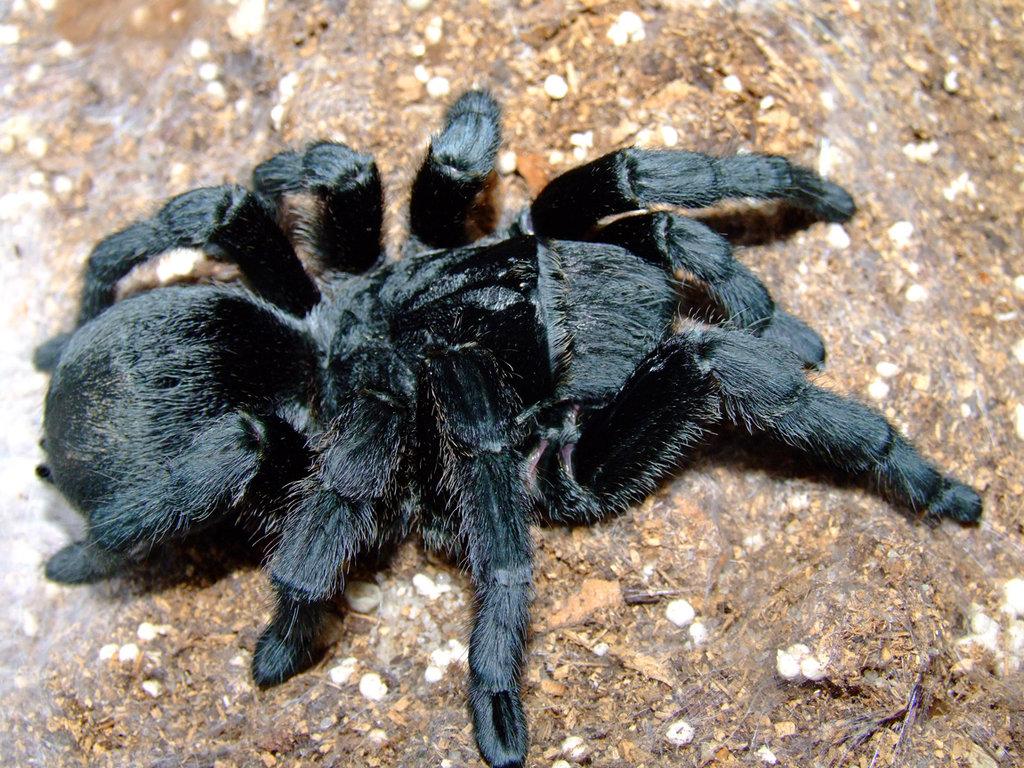 Лошадиный паук в качестве домашнего питомца