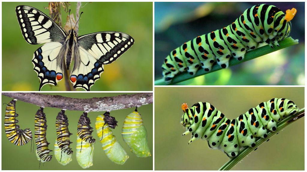 Содержание бабочек в домашних условиях