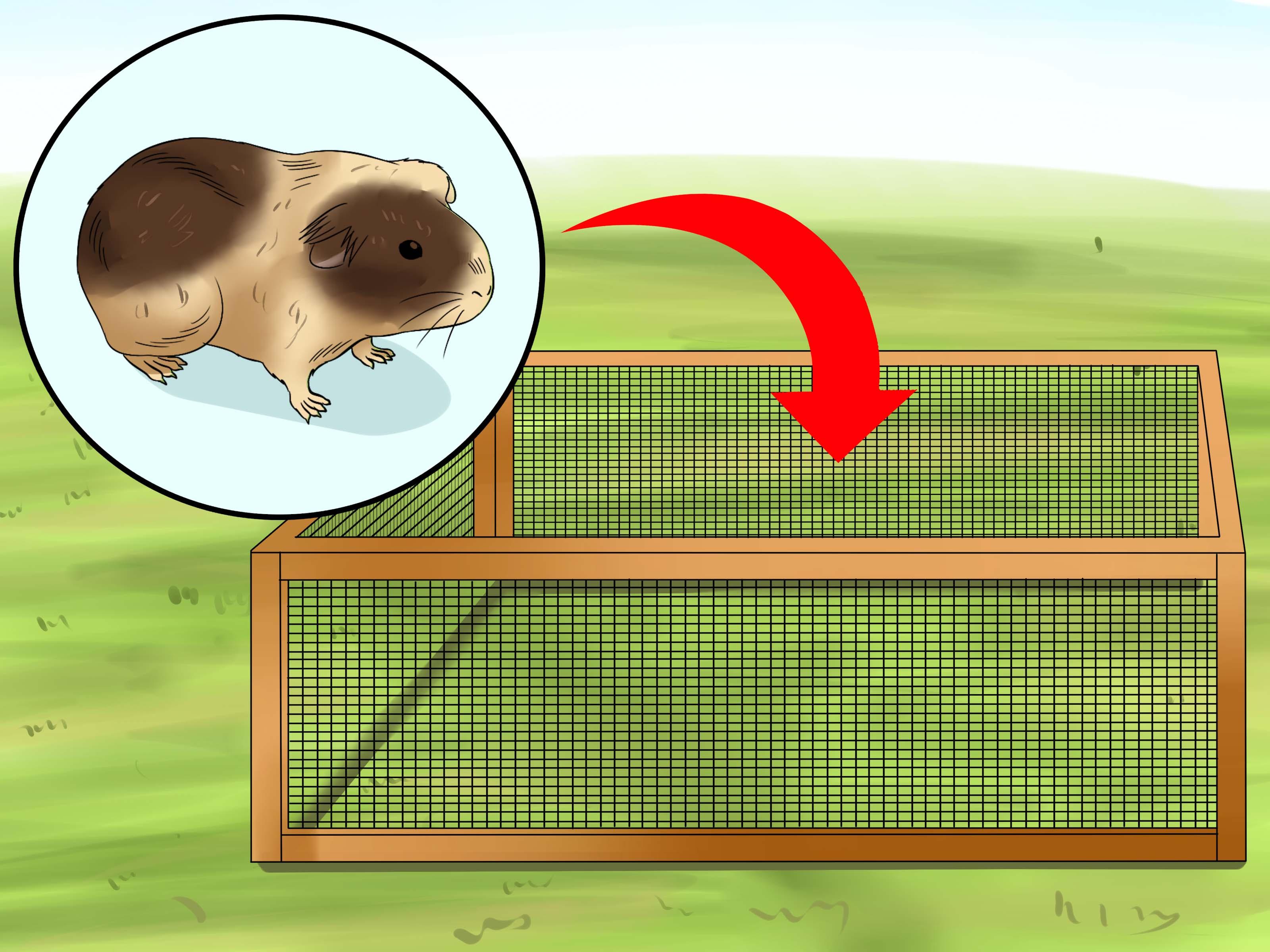 Правила и советы как играть с морской свинкой