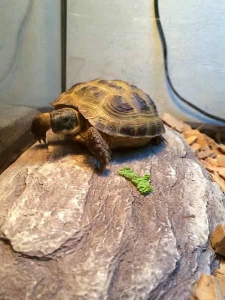 Среднеазиатские черепахи - описание