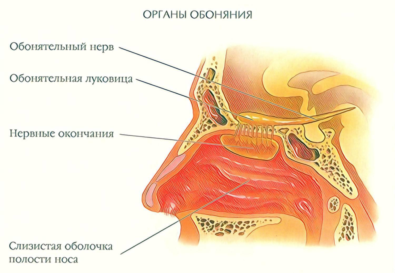 Пять чувств: зрение, слух, осязание, обоняние, вкус. органы чувств человека