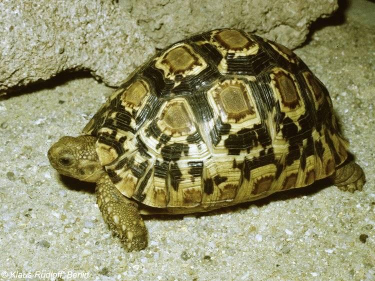 Леопардовая черепаха википедия