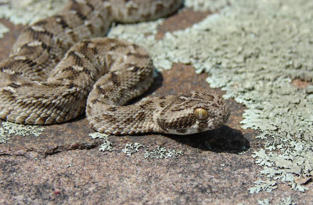 Змея Эфа
