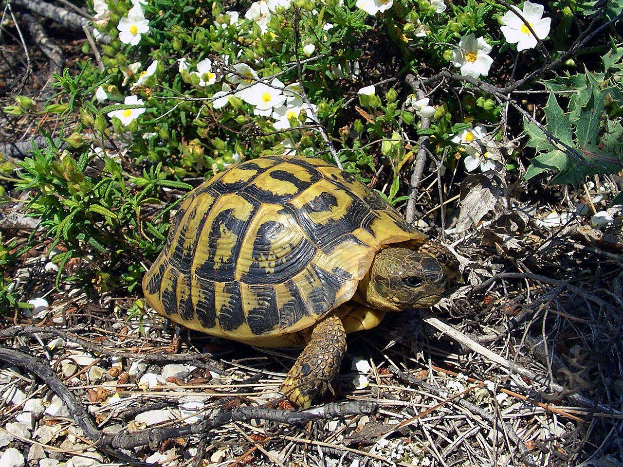 Балканская черепаха — википедия. что такое балканская черепаха