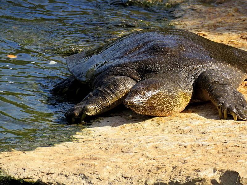 Большая мягкотелая черепаха — википедия. что такое большая мягкотелая черепаха