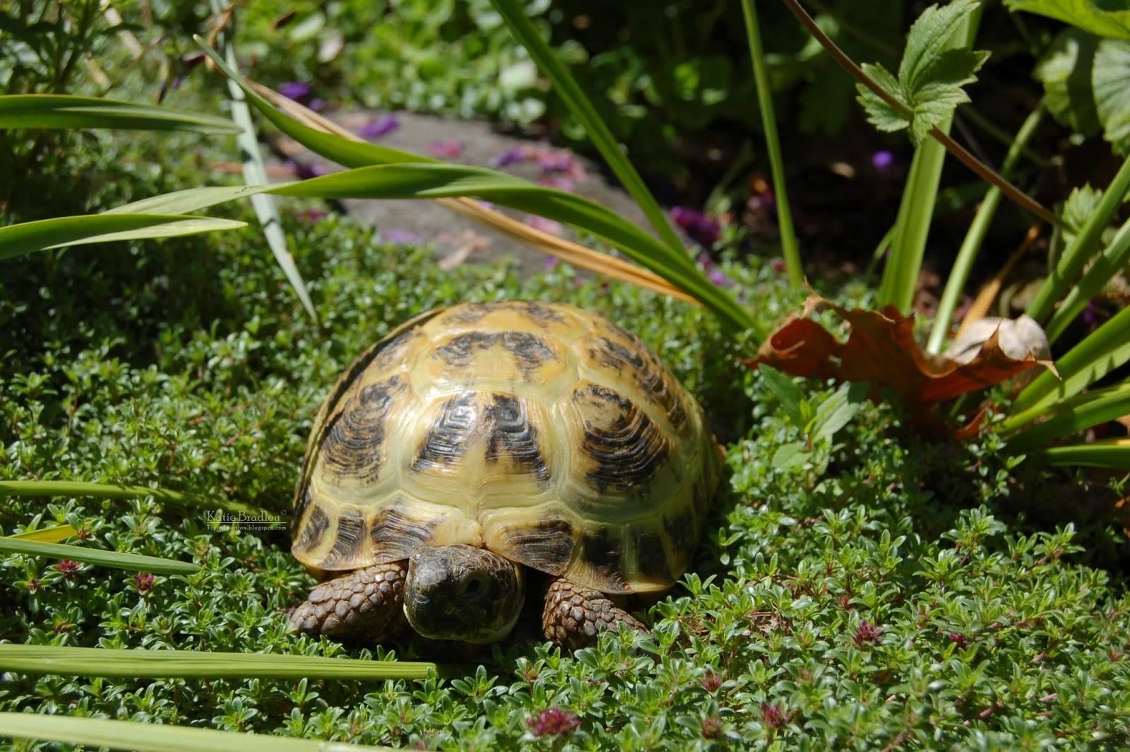 Эластичная черепаха — википедия