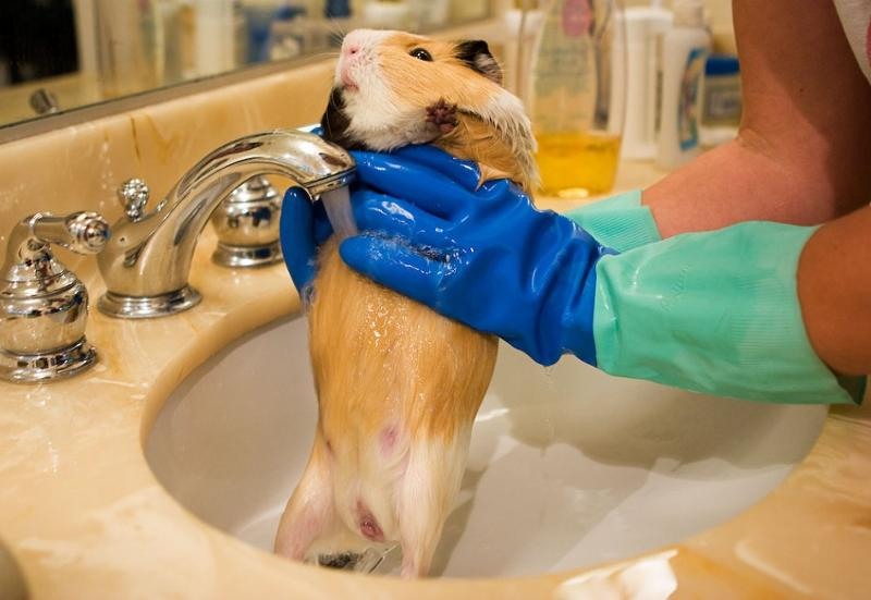 Отзывы владельцев: воняют ли морские свинки