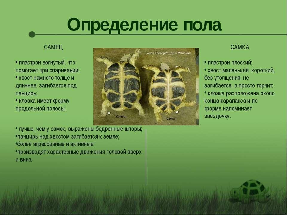Как определить пол черепахи среднеазиатской