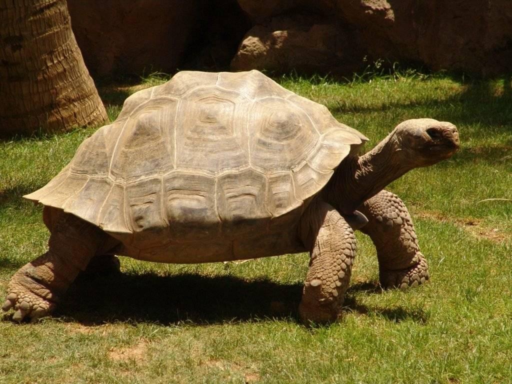 Береговая черепаха