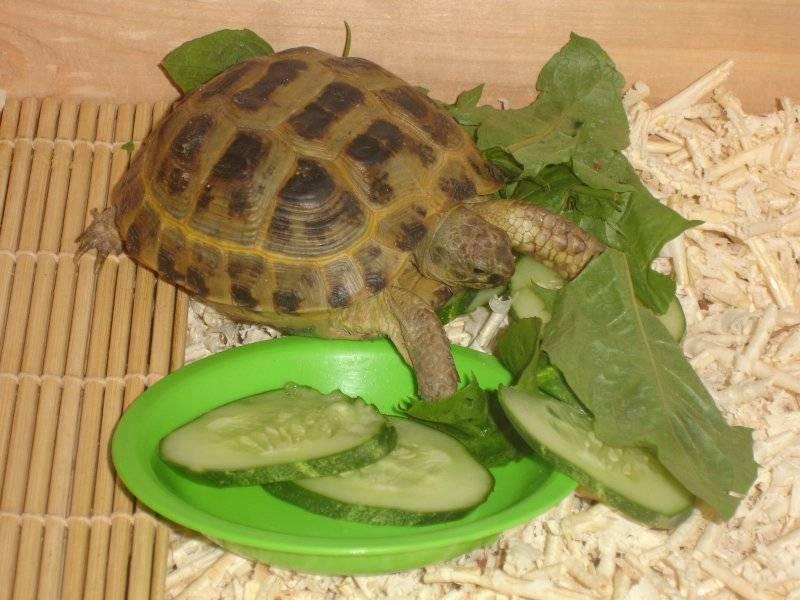 Как разбудить сухопутную черепаху