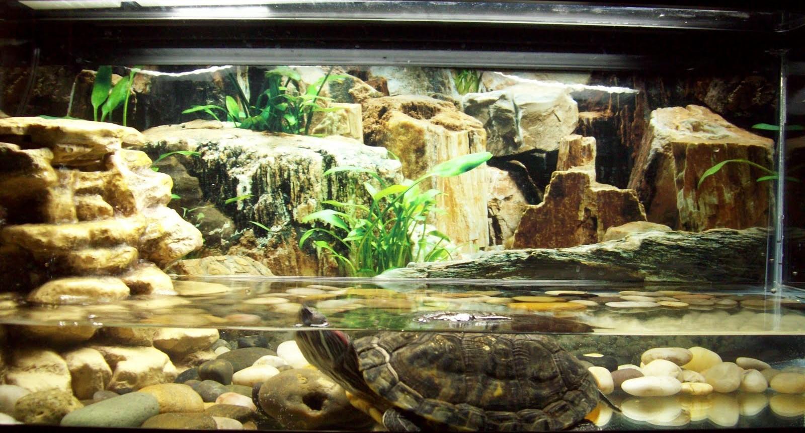Красноухая черепаха: как ухаживать и содержать в домашних условия