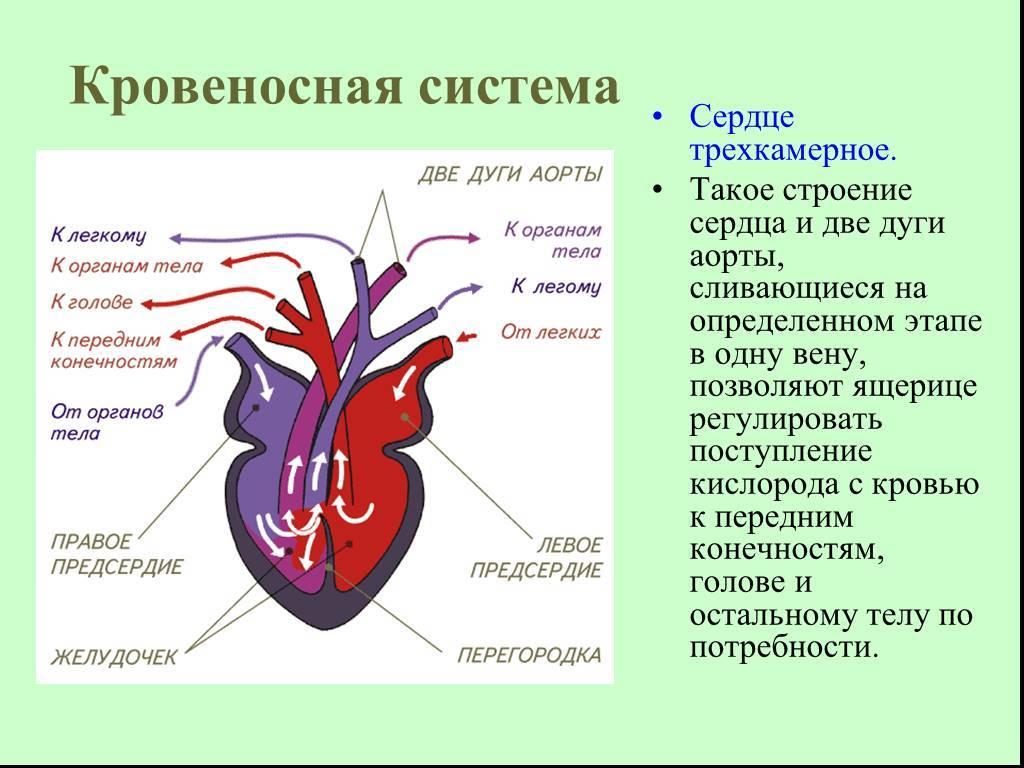 Сердечно-сосудистая система — википедия. что такое сердечно-сосудистая система