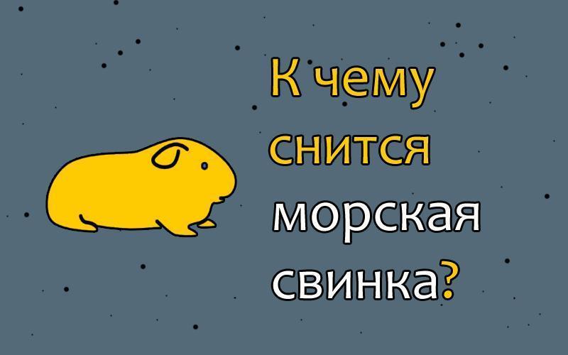 Далеко ли и как видят морские свинки