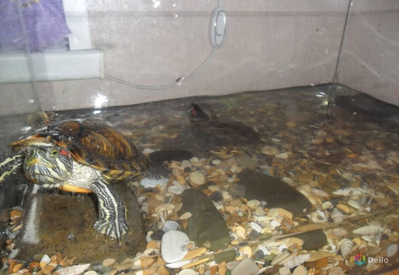 Грибок на панцире у красноухой черепахи