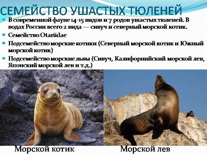 Особенности семейства Ушастые тюлени