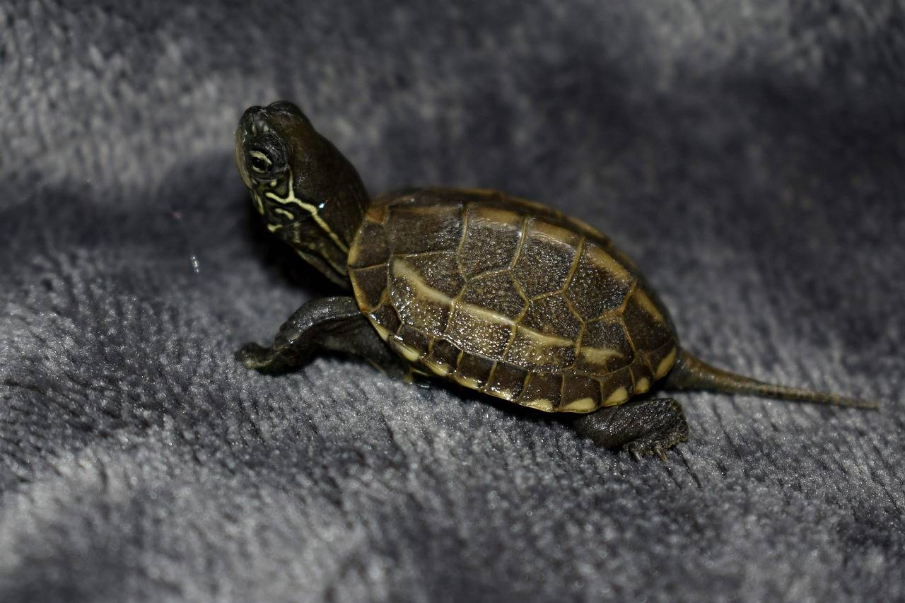 Домашние черепахи — особенности содержания рептилий в доме: описание, образ жизни, рацион питания