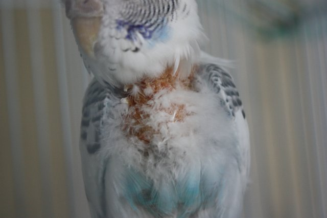 Все про линьку у волнистых попугаев: когда, почему и что с этим делать