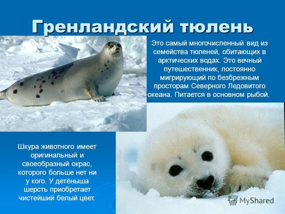 Северный морской котик: особенности животного