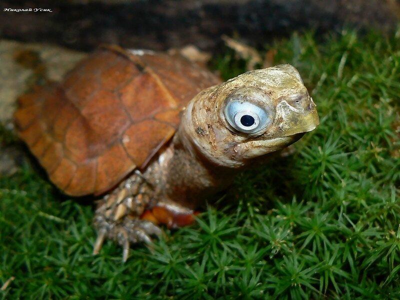 Geoemyda spengleri (горная черепаха шпенглера)