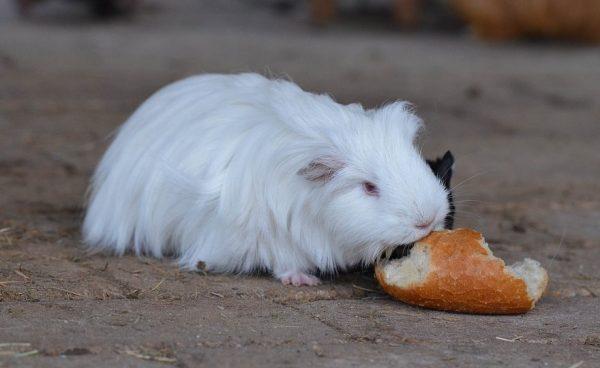 Хлеб: можно ли давать морским свинкам?