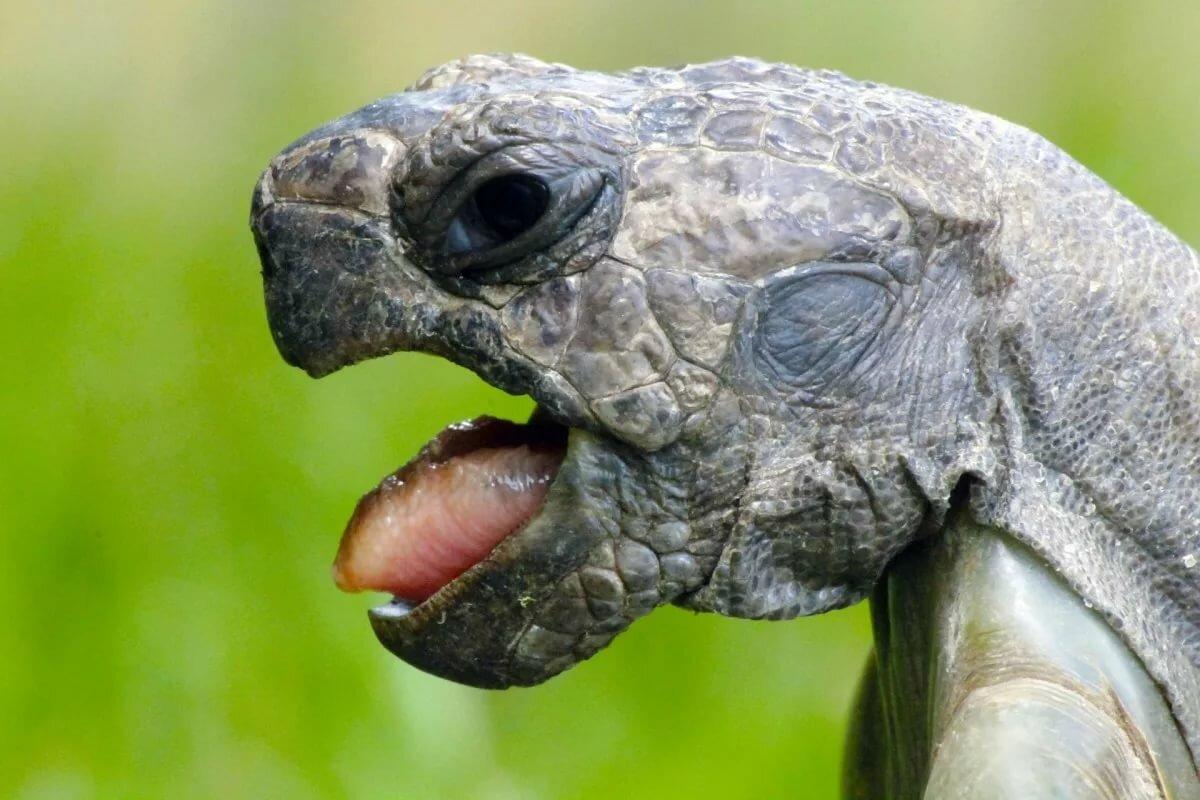Сухопутная черепаха открывает рот. как открыть рот черепахе? этапы открытия рта черепахи