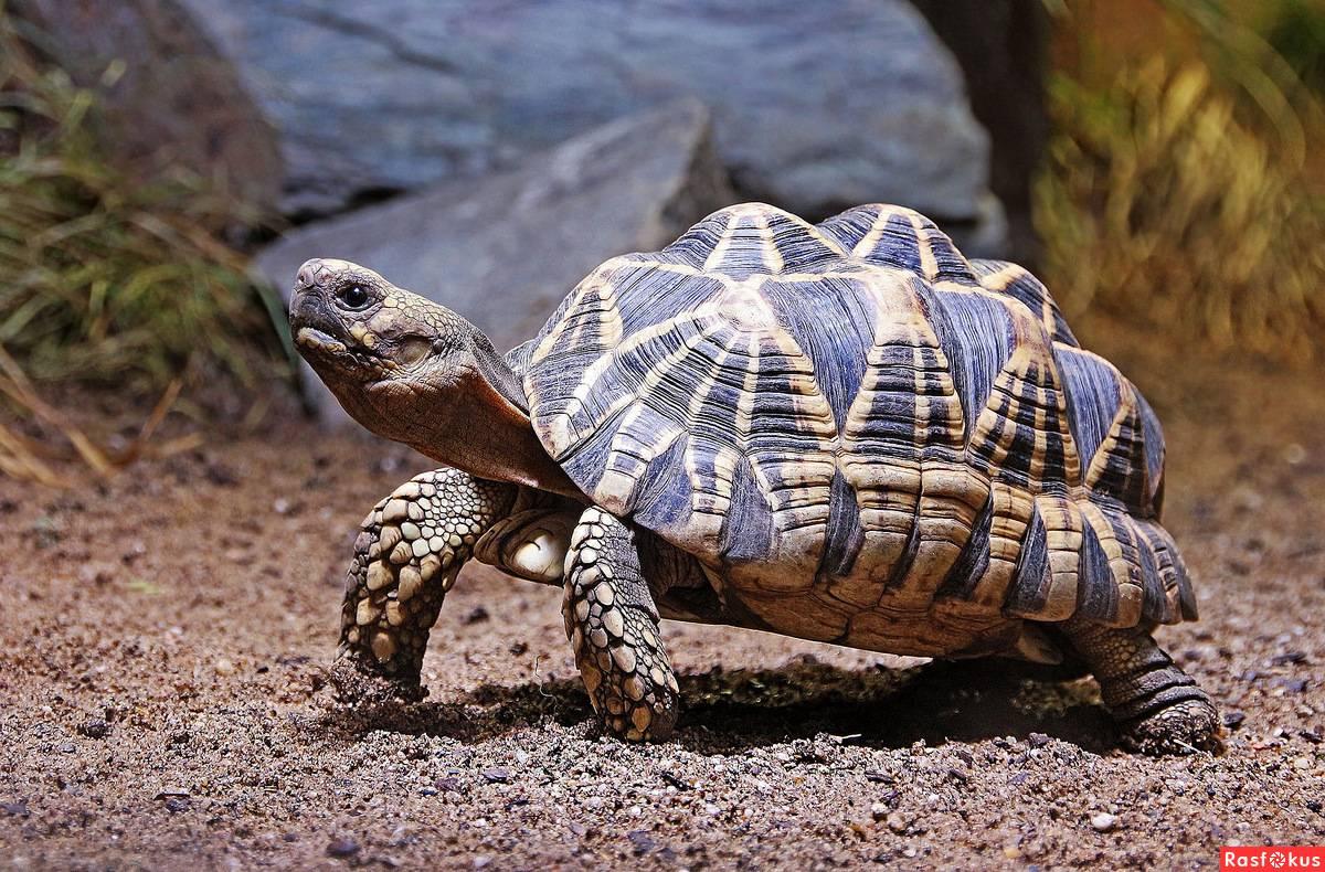 Лучистая черепаха википедия