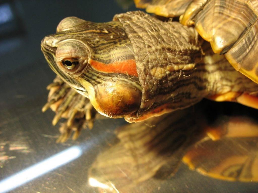 Тимпания у черепах красноухих: симптомы и лечение, профилактические меры, советы по уходу и содержанию