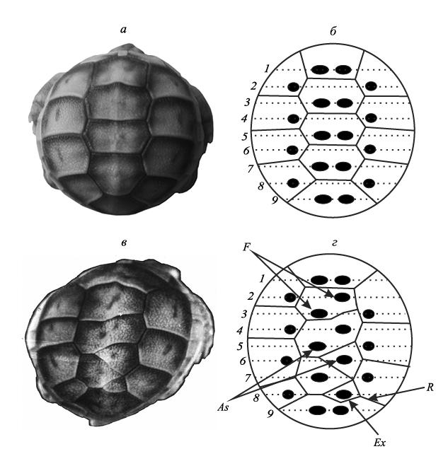 Г. о. черепанов изменчивость щитков панциря черепах: закономерности морфогенеза и природа аномалий* - pdf free download