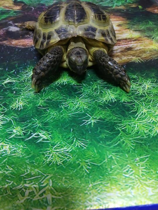 Могут ли плавать сухопутные черепахи?