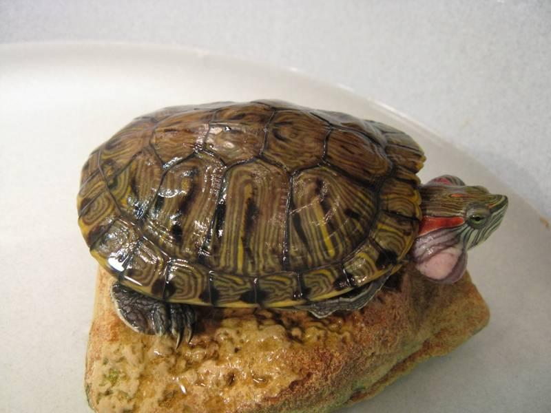 Вызов ветеринарного врача-ихтиолога для лечения рыб или черепах на дом в городе зеленоград московской области