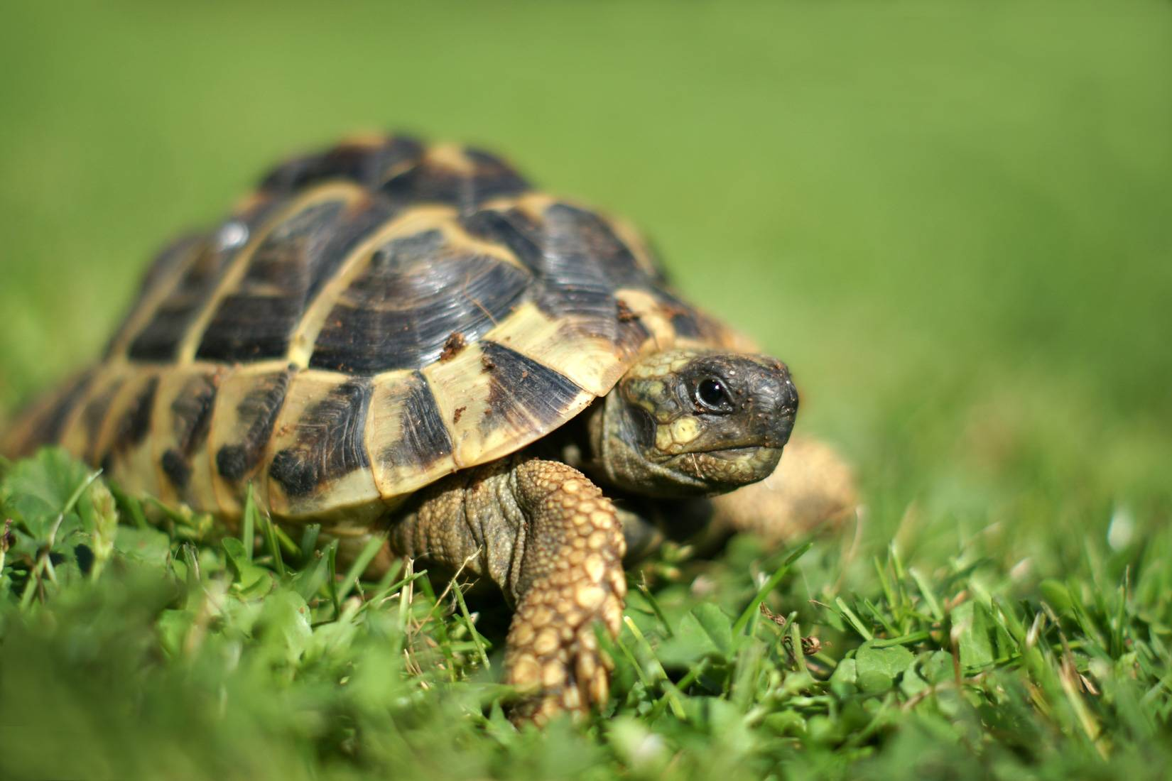 Черепахи Киникс: содержание в неволе
