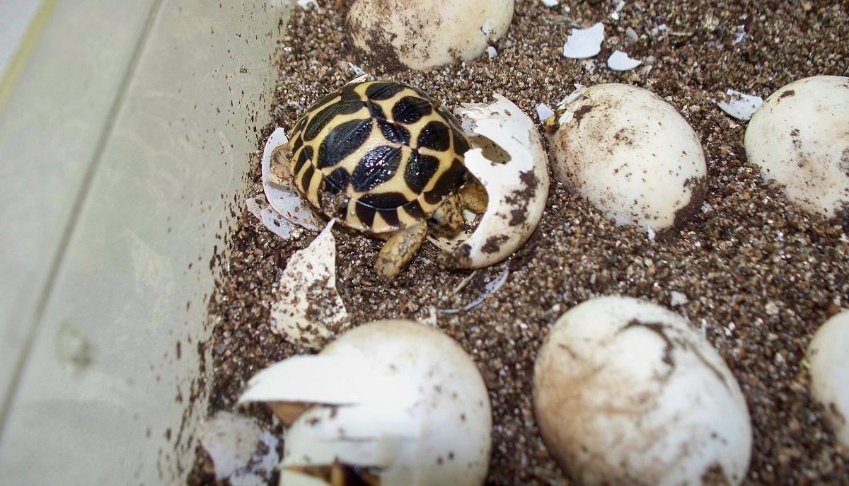 Яйца черепахи