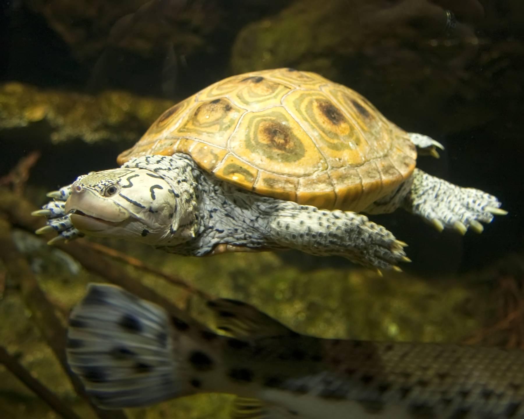 Astrochelys yniphora (мадагаскарская клювогрудая черепаха, ангонока)