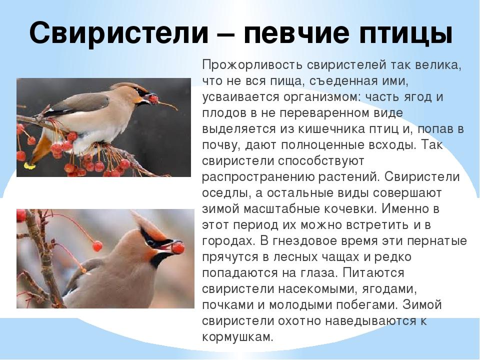 Свиристель Птица