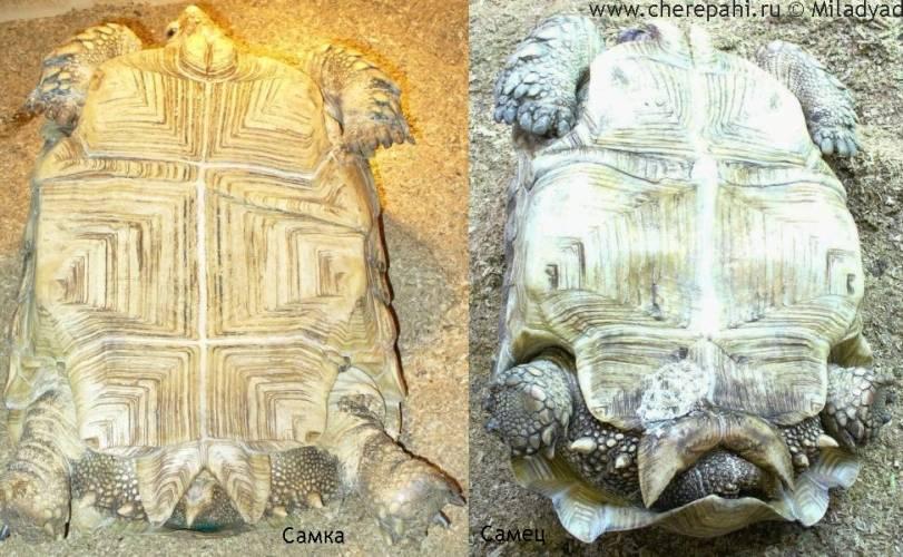 Как размножаются морские черепахи