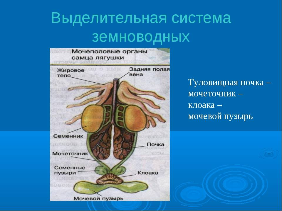 Эндокринная система (строение и функции)