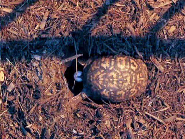 Разведение черепах | мои домашние питомцы