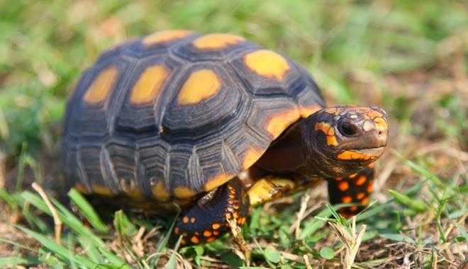 Лазаревский океанариум «тропическая амазонка» - угольная черепаха - красивая и редкая рептилия из южноамериканских тропиков