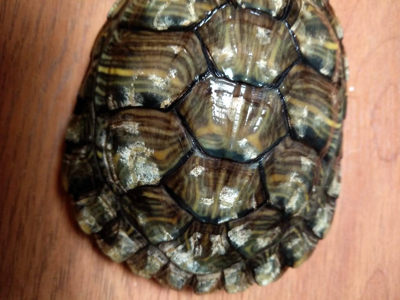 Линяют ли черепахи красноухие