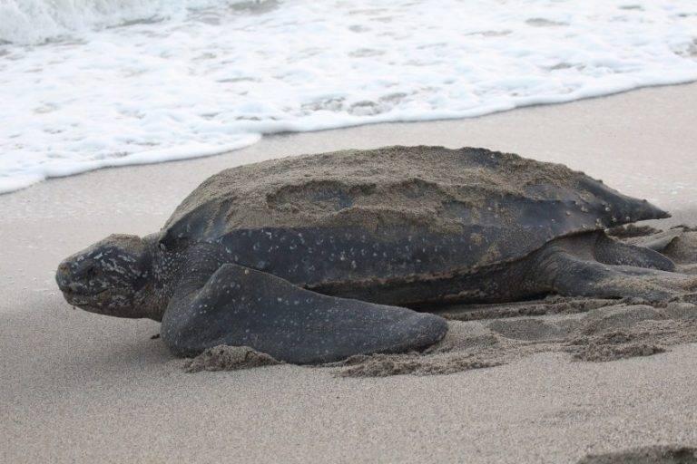 Кожистая черепаха: описание,разведение,питание,фото,видео.