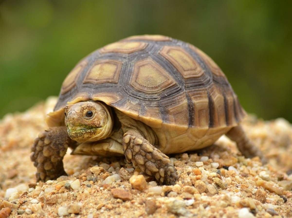 разновидность черепахи
