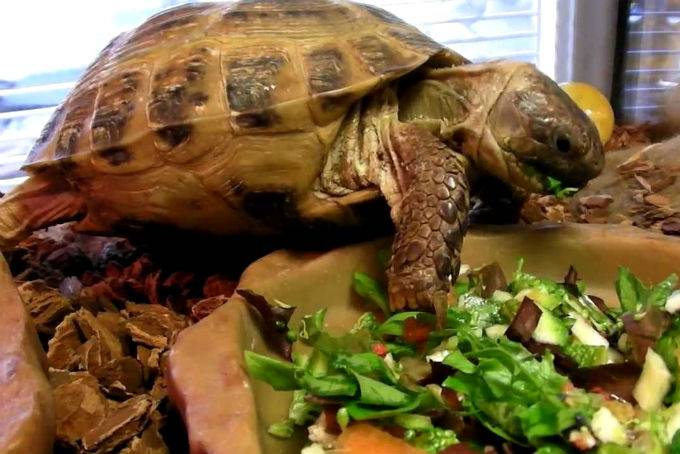 Растительная пища в рационе красноухих черепах