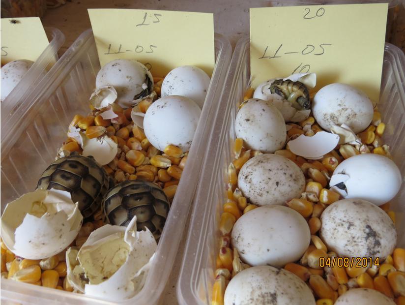 Размножение морских и сухопутных черепах