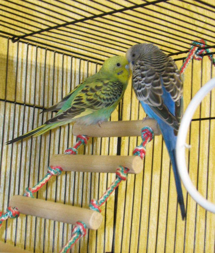 Как можно назвать волнистого попугая девочку или мальчика