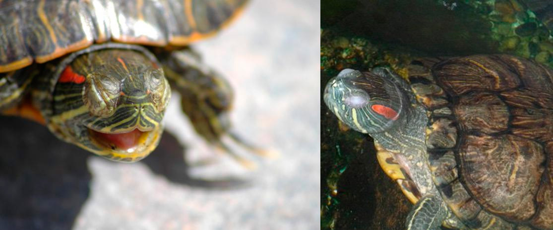 Черепаха плавает на одном боку, задом или брюхом кверху: причины и лечение