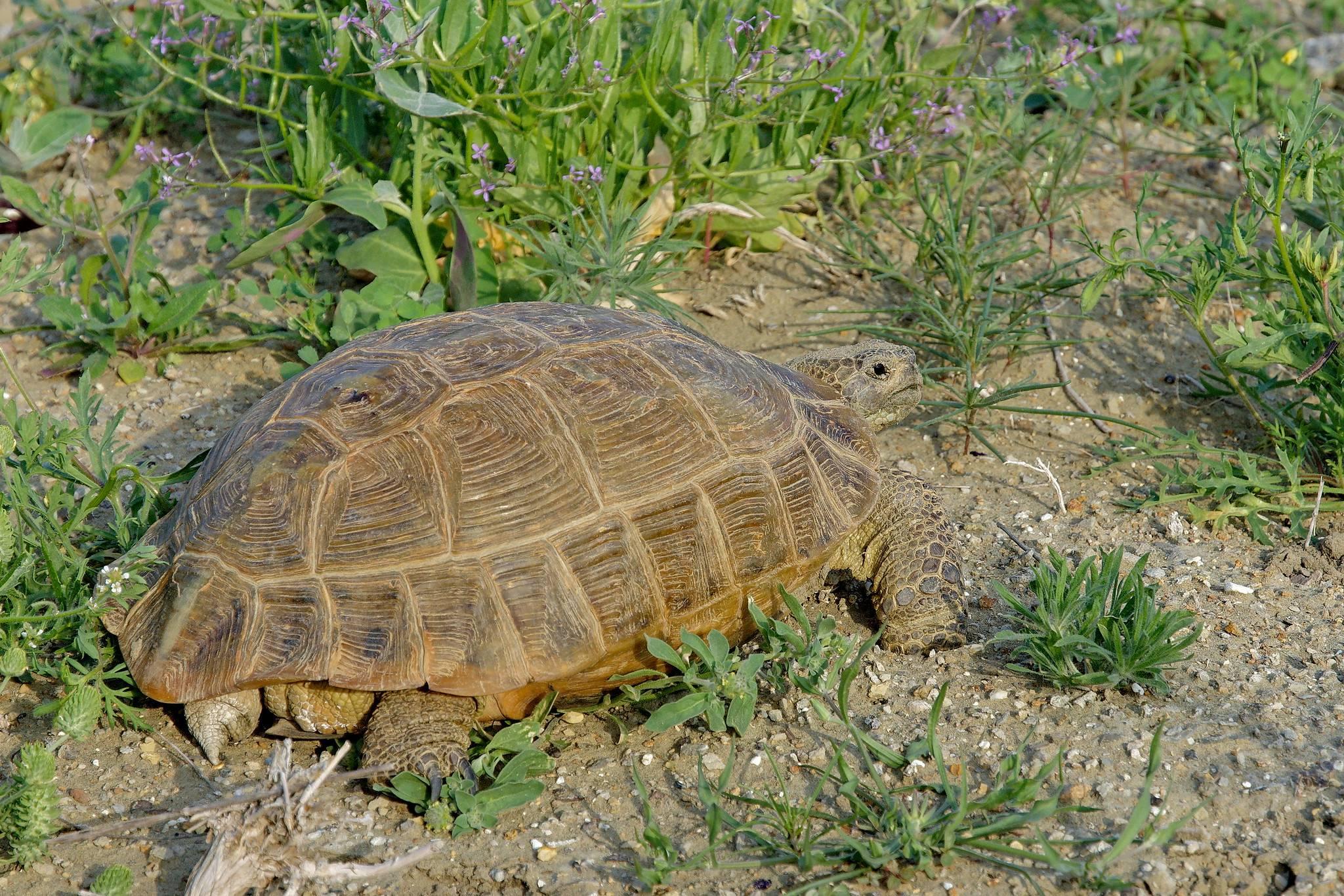 Черепаха среднеазиатская википедия